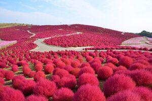 Ngắm hoa tại công viên Hitachi Nhật Bản